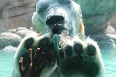 Polar Bear Feeding (Kaitlin Bellamy) Tags: bear ice nature ecology june outside mammal zoo nc marine north arctic human carolina keystone polar predator warming global ursus zoology asheboro 2016 zoological maritimus uncw image3 su2016 bio366 uncweteal