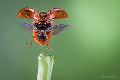 take off n1 (Makrotreff) Tags: macro insects off bugs take ladybird makro kfer marienkfer macrophotography abflug makrofotografie makrotreff