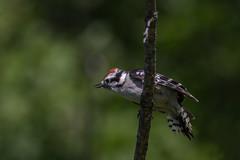 Downy Woodpecker (hey its k) Tags: ca ontario canada nature birds burlington woodpecker downywoodpecker wildlife tamron royalbotanicalgardens canon6d 150600mm cherryhillrbg img2158e