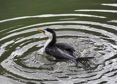 Little Shag Swimming (dougnewdick) Tags: cormorant shag zealandia