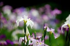 はなしょうぶ (花菖蒲) /Iris ensata (nobuflickr) Tags: iris flower nature japan kyoto 京都 平安神宮 花菖蒲 irisensata heianjingushrine japanesewateriris awesomeblossoms はなしょうぶ 平安神宮神苑 アヤメ科アヤメ属 20160604dsc01528