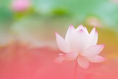 Nelumbo nucifera (Laban.tw) Tags:    tw  taipeibotanicalgarden   lotus  nelumbonucifera