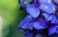 (Light Echoes) Tags: sony a6000 2016 spring pennsylvania macro plant flower bloom blossom wisteria americanwisteria blue drops warterdrops droplets bokeh sonyflickraward