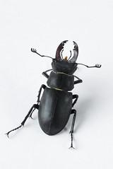 Stagbeetle 1 (Jeaunse23) Tags: macro beetle stagbeetle coleoptera lucanuscervus