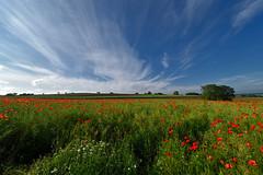 Ils sont de retour (Excalibur67) Tags: red sky cloud nature landscape rouge nikon sigma ciel poppies d750 nuages paysage papaver coquelicots pavots 1224f4556iidghsm