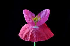Shirley Poppy (natureloving) Tags: flower macro nature nikon poppy d90 shirleypoppy afsvrmicronikkor105mmf28gifed natureloving flowersinfrance flowersineurope fleursenfrance