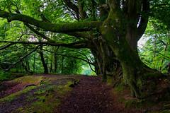 Lamberts Beech_edited-1 (Conger76) Tags: trees tree castle woodland landscape mono moss dorset hdr beech lamberts