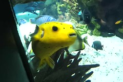 Yellow puffer fish (Vicki Milway) Tags: fish portugal aquarium lisbon pufferfish parquedasnacoes oceanariolisboa