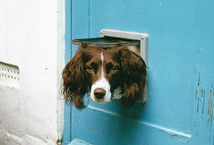 Penny at catflap.jpg (digonedd) Tags: pets dogs penny catflap springerspaniel