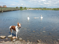 Dog and Swan (deltrems) Tags: dog pet lake swan collie border cygnet lancashire bailey welsh fleetwood
