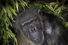 Portrait of Chimpanzee (tony143) Tags: monkey scotland edinburgh chimpanzee edinburghzoo