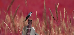 Swallow (Caroline.32) Tags: happyslidersunday slidersunday swallow bird field fieldofgrass voloil volobog