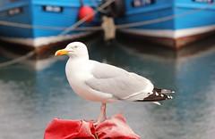 The Poser! (RiverCrouchWalker) Tags: herringgull larusargentatus harbour seahouses northumberland boats bird theposer laridae gull spring 2016 june