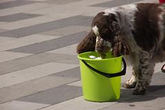 In the bucket (Yvonne L Sweden) Tags: dog dogs sweden hund springerspaniel arlo eskilstuna hundar 160622 fristadstorget hundshow sommartorget
