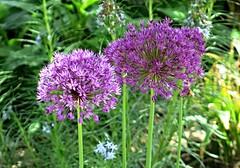 Cylburn Arboretum ~ Allium (karma (Karen)) Tags: flowers dof bokeh maryland baltimore allium cylburn 4spring arboretums cmwd