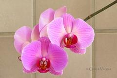 o r c h i d ( Graa Vargas ) Tags: orchid flower orquidea falenpsis graavargas phalaenopsisxhybridus 2016graavargasallrightsreserved 17912270716