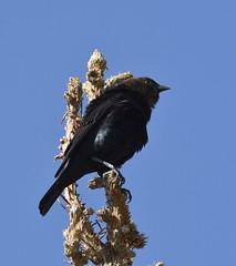 Brown-headed Cowbird (polson_mark57) Tags: brown pine co estespark headed treetop cowbird
