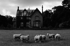 Chasing Sheep Is Best Left to Shepherds (Man with Red Eyes) Tags: music house film monochrome landscape blackwhite raw sheep conversion lancashire preston 18105 petergreenaway aonb michaelnyman forestofbowland thedraughtsmanscontract nikond500 areaofoutstandingnaturalbeauty afsdxnikkor35mmf18g capturenxd