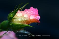 (zwei_kilo_gramm) Tags: flower macro nature rain june rose japan sapporo hokkaido drop    waterdrops     6