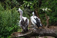 Pelican (Infomastern) Tags: berlin bird animal germany deutschland zoo pelican pelikan tyskland zoologischergarten djur fgel zooberlin pelecanus berlinzoo djurpark berlinszoo