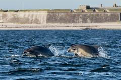 Moray Firth Dolphins (cjdolfin) Tags: nature mammal scotland marine alba dolphin wildlife scottish highland splash marinemammal morayfirth cetacean bottlenosedolphin tursiopstruncatus fortrose rossshire chanonrypoint cjdolfin odontocete