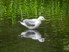 """I can see me"", Seagull @ Johnston Gardens, Aberdeen, June 2016 (allanmaciver) Tags: seagull reflection green water johnston aberdeen gardens rest watch wait admire enjoy delight allanmaciver bird"