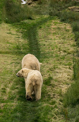 looking for north pole (jan_baranovski) Tags: wildlife bears polarbear walkingaway northpole