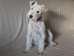 ...stubborn but cute Miss T. ... (ristina) Tags: dog cute teri curly foxterrier stubborn