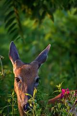 SpotShot (jmishefske) Tags: wehr nikon halescorners nature center whitnall milwaukee franklin spot june d7100 wisconsin wildlife park whitetail doe deer 2016