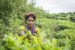 Srimangal-6216 (BohemianTraveler) Tags: asia tea bangladesh srimangal srimongol sreemangal