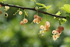 "Groseilles ""Versaillaises"" du jardin (in Explore) (yoduc73) Tags: fruits jardin groseilles"