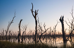 Sunset flooded forest (laurie.g.w) Tags: sunset lake water forest sticks dusk dam central australia victoria swamp wetlands winton flooded deadtrees