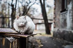 (serhiidiedushev) Tags: fence outdoor white street dirty cat sleep canon 6d carl zeiss cy planarf14 planar eos