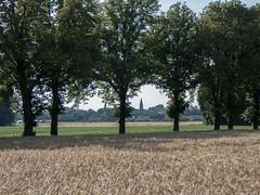 Alle de tilleuls (bpmm) Tags: lompret nord arbres champ clocher crales tilleul