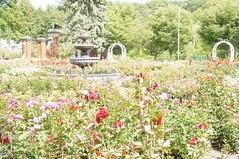 11807270_10153099684022076_2626853923209113182_o (jmac33208) Tags: park new york roses rose garden central schenectady