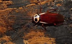 Australian cockroach (Periplaneta australasiae) (shadowshador) Tags: life insect wildlife australian insects biology arthropods animalia cockroach arthropoda invertebrate invertebrates entomology scientific arthropod taxonomy hexapod classification insecta hexapods hexapoda pterygota dictyoptera blattaria australasiae ecdysozoa neoptera eukaryota eumetazoa periplaneta blattidae opisthokonta blattoidea neomura holozoa filozoa