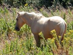 O Chefe (LuPan59) Tags: oeiras cavalos lupan59