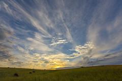 Cattle Sunrise (thefisch1) Tags: blue sky cloud grass sunrise interesting stem nikon colorful cattle angus horizon 14 hills pasture kansas 24 serene nikkor flint cirrus