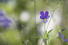 Viola (Sbastjen) Tags: flower color macro green nature field closeup blurry dof purple pansy olympus sharp 60mm viola depth f28 f32