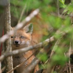 Fox Kit peering through the brush, with its sibling in the out of focus background. (Vulpes vulpes)  #wwnk_memb#ig_nature_lovers#ignature#wildlife_perfection#wildernessculture#pocket_nature#fromhereandaway#capturewildlife#ww_nature_rayofsunshine#miwildlif (garretthoffmaster) Tags: canon michigan foxes shutterstock natureandwildlife foxkits picfair miwildlife teamcanon instagramapp