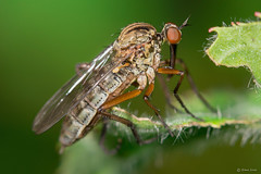 Dagger fly (Shane Jones) Tags: macro bug insect fly nikon compoundeye daggerfly macrolicious tamron180mmmacro macrophotosnolimits macromarvels macrolife pk3extensiontube d7200 pk3x2