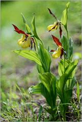 Scarpette. (valpil58) Tags: wild orchid macro bokeh madonna fiore venere friuli pianta cypripedium calceolus scarpetta primotar valpil58