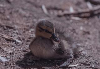 Duckling enjoying the sun