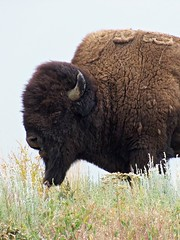 Senior Resident, Moiese Bison Range, Montana **EXPLORED** (teresue) Tags: 2016 mt montana moiese missoula nationalbisonrange buffalo bison bullbison explored