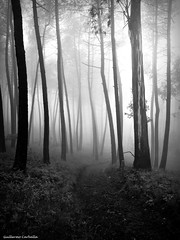 The guardians (Guillermo Carballa) Tags: fog mist forest woods trees light carballa olympus e1 bw