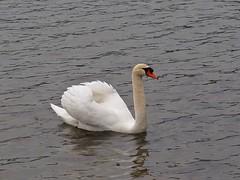 P4091678 (Ken Whittle) Tags: cruise swan viking muteswan lakelucerne
