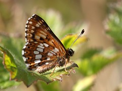 Duke Of Burgundy (chaz jackson) Tags: nature butterflies insects lepidoptera dukeofburgundy hamearislucina rhionidae