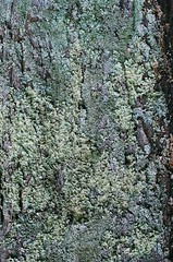 Lichen Pattern (lookingforanewengland) Tags: green texture film nature pattern 35mmfilm nikonfm10 lichen analogphotography filmphotography colorfilm naturalpattern 50mm14dlens