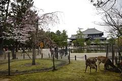 (ddsnet) Tags: travel animals japan sony 99  nippon kansai  nihon slt  backpackers       naraken   narashi     singlelenstranslucent 99v