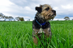 Bramble the Border Terrier (Dafydd Penguin) Tags: portrait pets dogs nikon cheshire 28mm border nikkor f28 borderterrier d600 primelens
